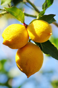 lemons on lemon tree in nature